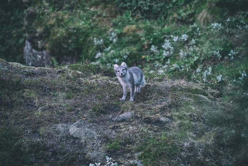 får man ha räv som husdjur