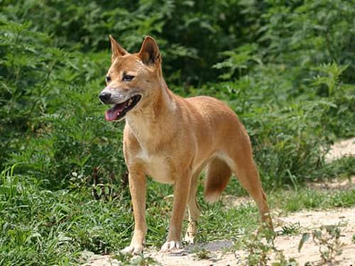 Nya Guineas sjungande hund