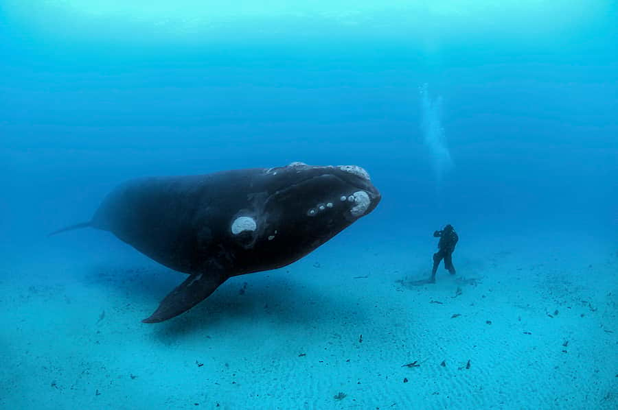 världens största valar sydkapare