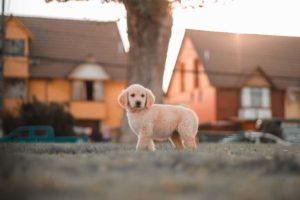 bästa hundrasen för nybörjare