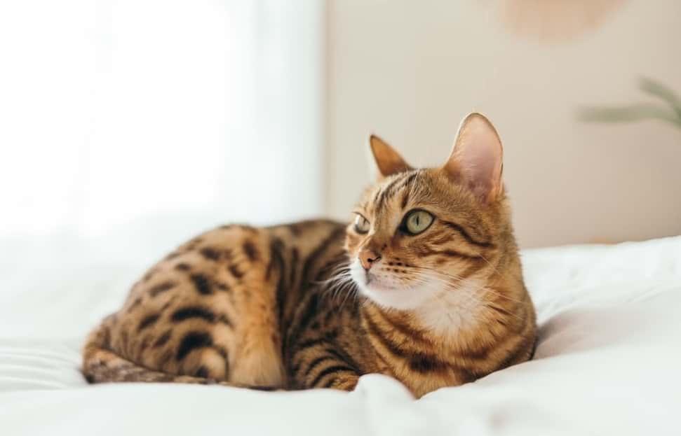 allergivänlig katt bengal