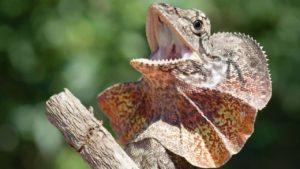 djur i australien