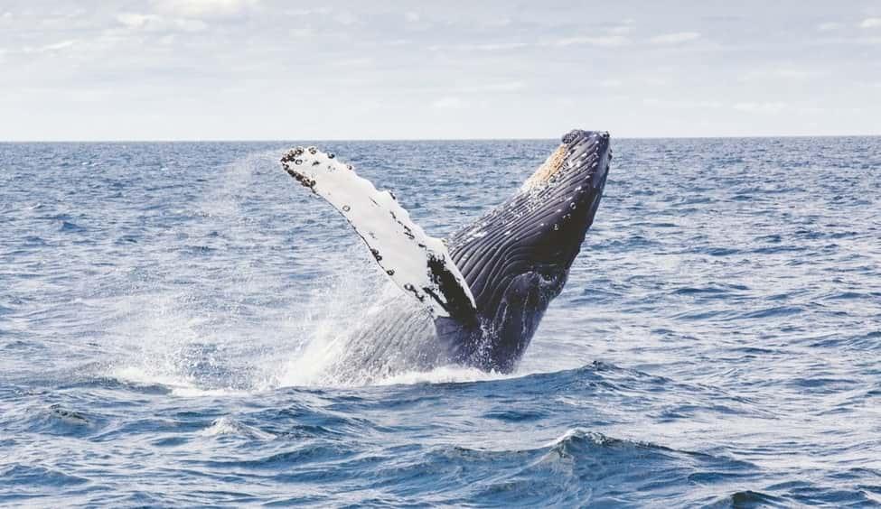 världens största valar knölval