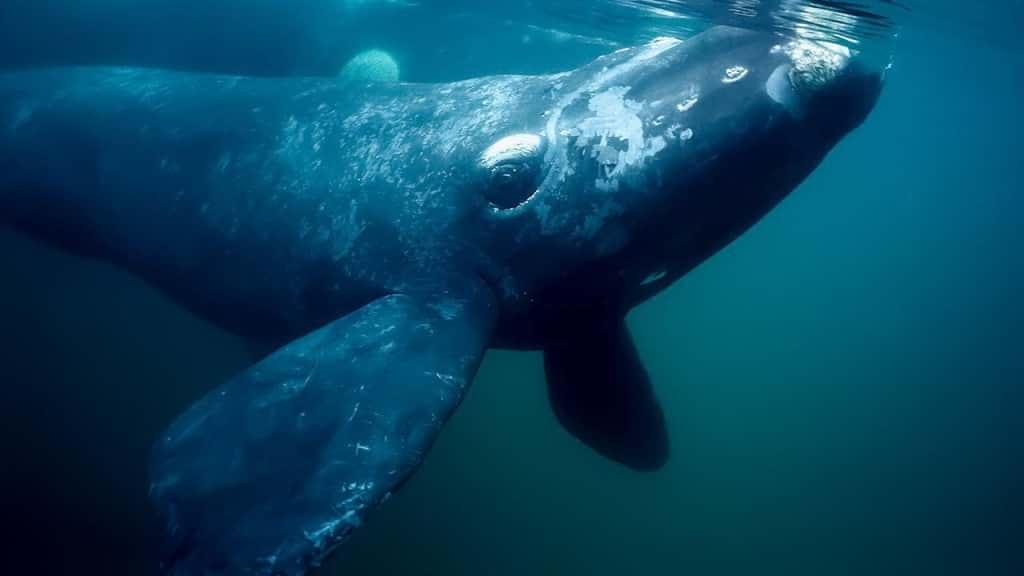 världens största valar nordkapare