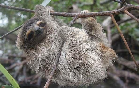 nya djurarter Bradypus Pygmaeus