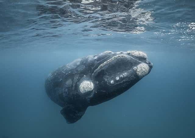 världens största valar stillahavsnordkapare