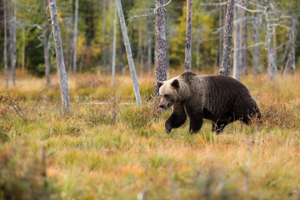 sveriges största djur brunbjörn