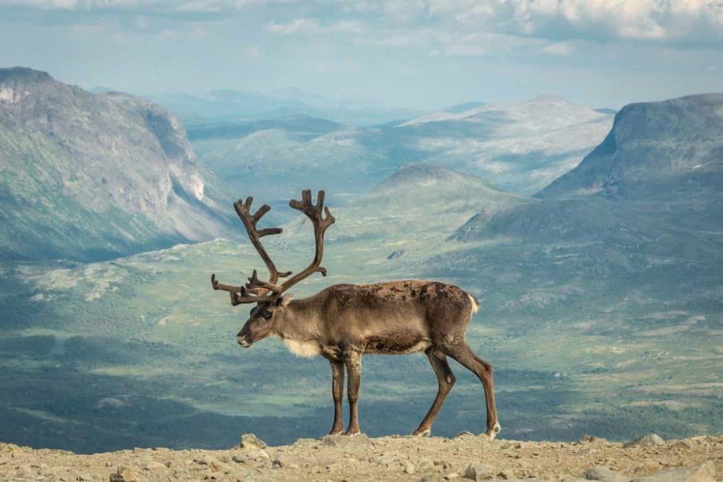 sveriges största djur ren