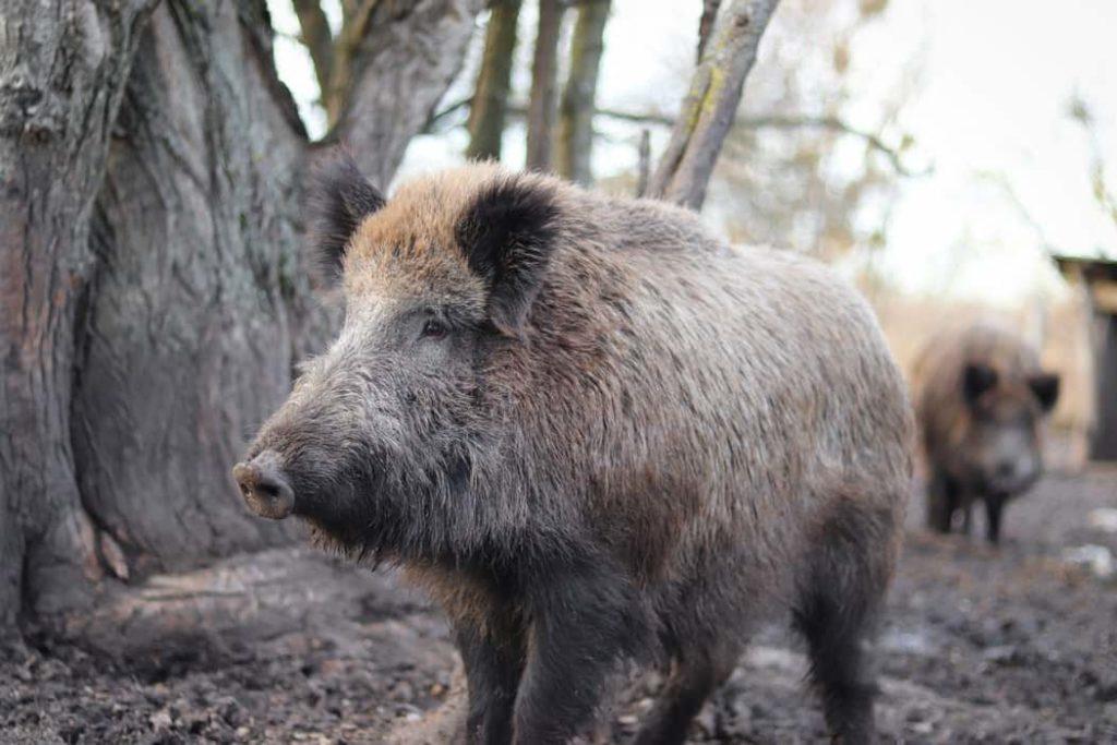 sveriges största djur vildsvin