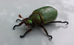 världens största insekt