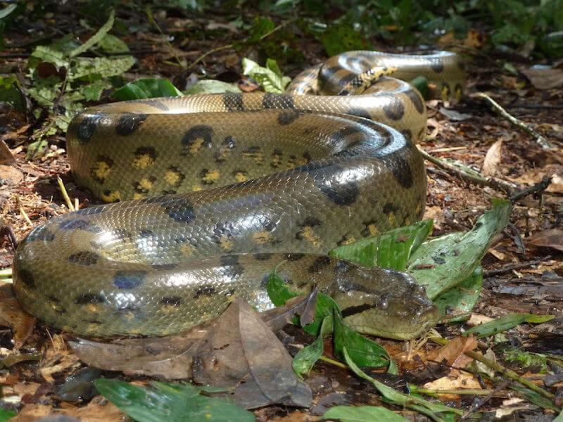 världens största orm