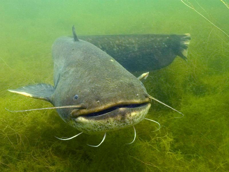 världens största sötvattenfisk