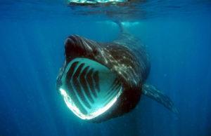 sveriges största fisk