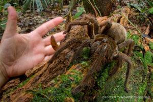 världens största spindel