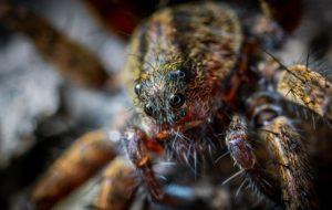 Sveriges största spindel