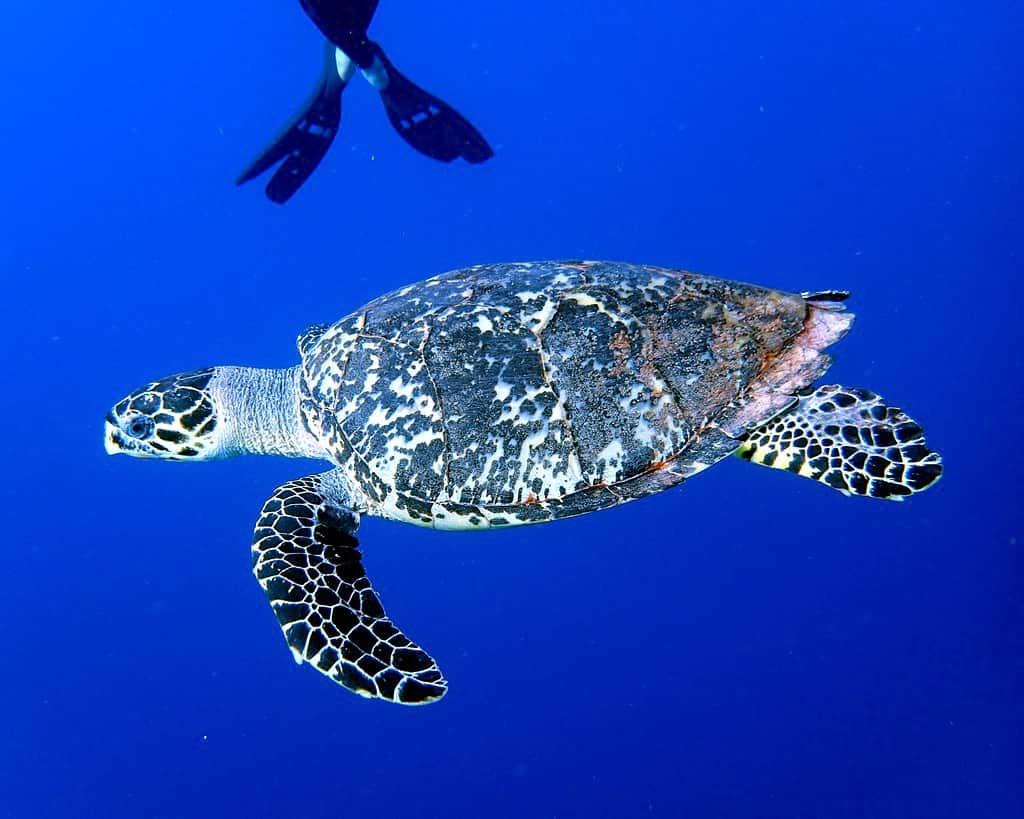 Karettsköldpadda