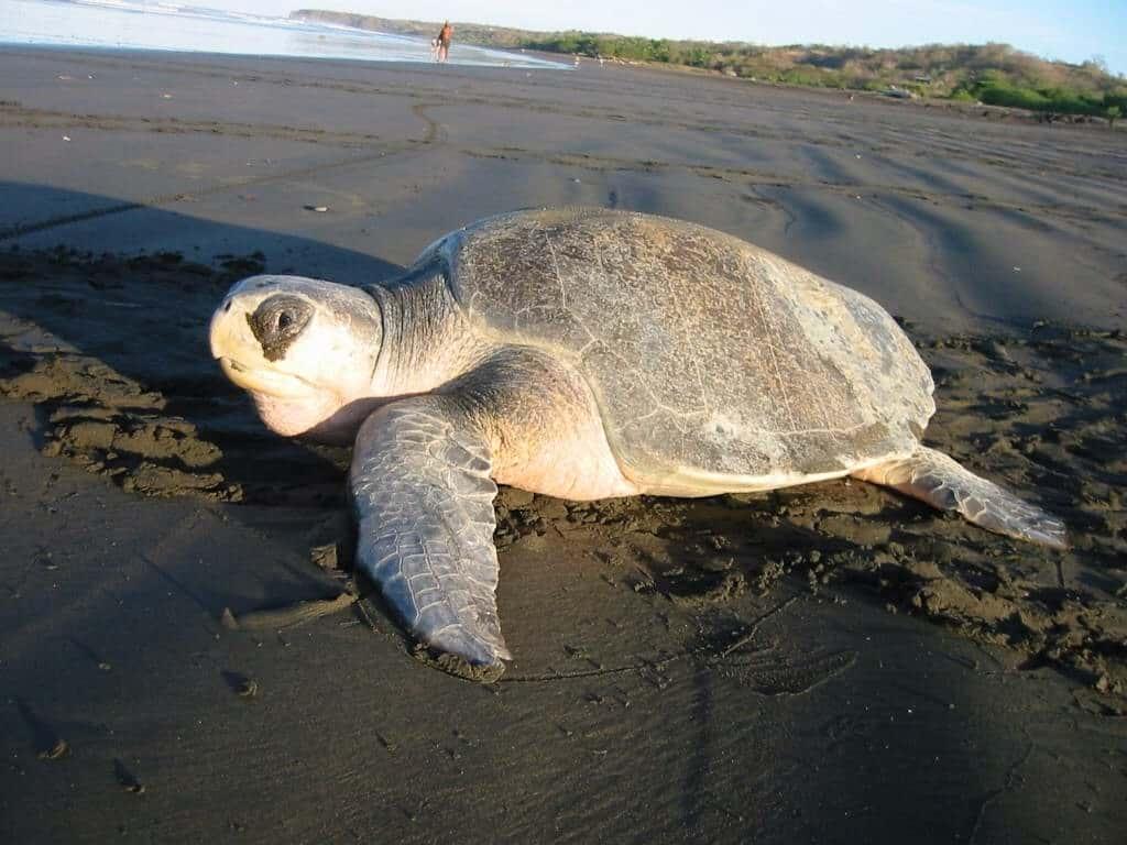 Sydlig bastardsköldpadda