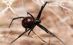 giftigaste spindlarna