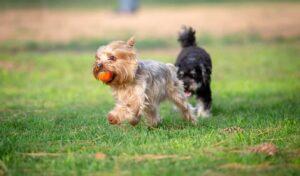 världens minsta hund
